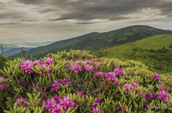 Close up of Rhododendron on Jane Bald